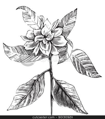 A common gardenia engraving illustration stock vector.