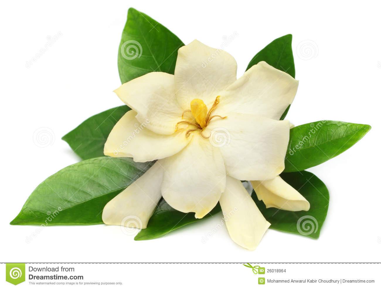 Gardenia Stock Photos, Images, & Pictures.
