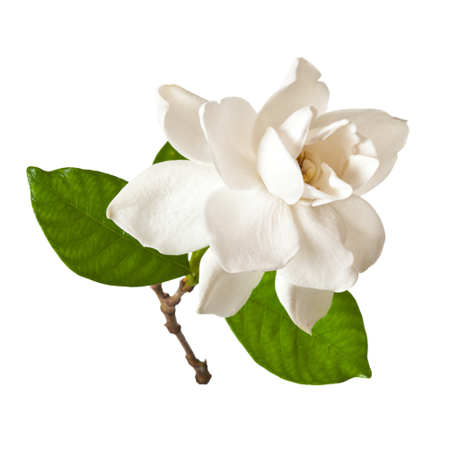 Gardenia png clipart images gallery for free download.
