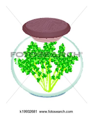 Clipart of Jar of Pickled Garland Chrysanthemum in Malt Vinegar.