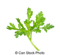 Pictures of Garland chrysanthemum isolated on the white background.