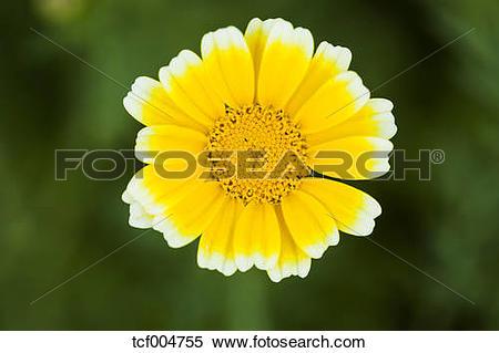Stock Image of Garland Chrysanthemum tcf004755.