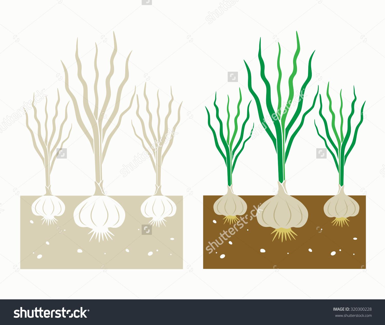 Garlic Plant Leaves Tubersvector Illustration Stock Vector.