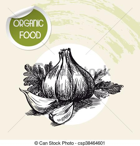 Vector Clipart of Root and leaves of garlic. sketch made by hand.