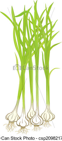 Vectors Illustration of Garlic Plants.
