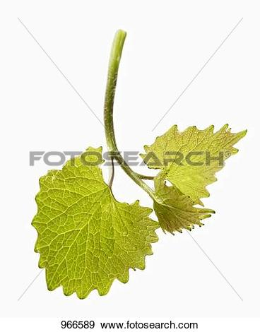 Stock Photograph of A stalk of garlic mustard 966589.