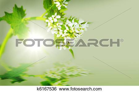 Stock Images of Garlic Mustard Plant k6167536.
