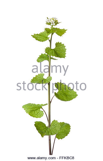 Wild Mustard Flower Stock Photos & Wild Mustard Flower Stock.