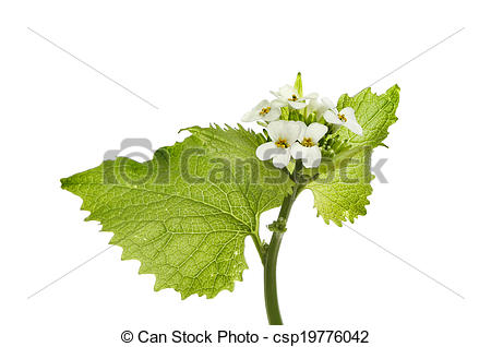 Mustard green plant Stock Photos and Images. 1,231 Mustard green.