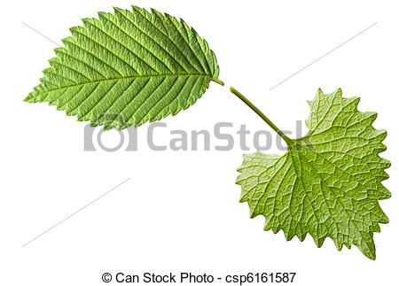 Picture of Garlic Mustard Leaf.