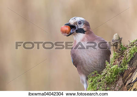"Stock Photo of ""Eurasian Jay (Garrulus glandarius) with a hazelnut."