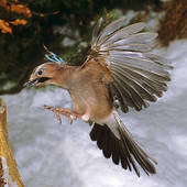 Stock Image of Eurasian Jay.