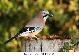 Stock Photography of A Jay bird (Garrulus glandarius) is eating a.