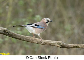 Stock Image of A Jay bird (Garrulus glandarius) is eating a peanut.
