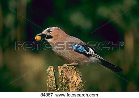 Picture of Eurasian Jay with acorn in its bill / Garrulus.