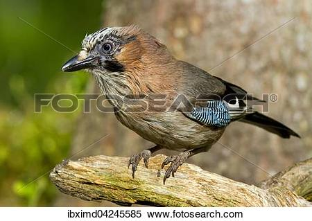 Stock Image of Eurasian jay (Garrulus glandarius), Kainuu, North.