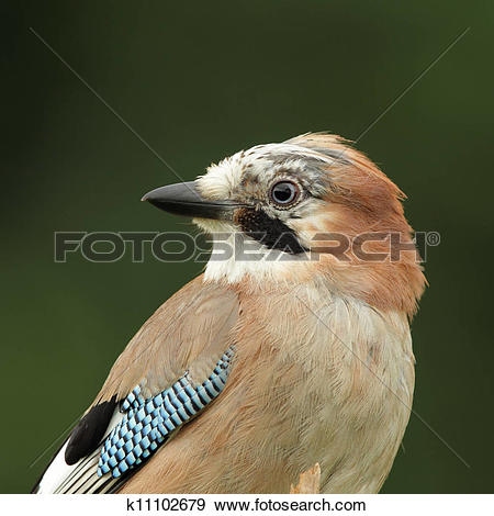 Stock Photograph of Eurasian Jay (Garrulus glandarius) k11102679.