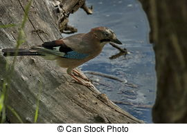 Pictures of Jay ( Garrulus glandarius ) closeup with a green.