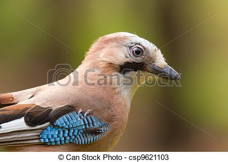 Stock Photos of A Jay bird (Garrulus glandarius) with a soft.