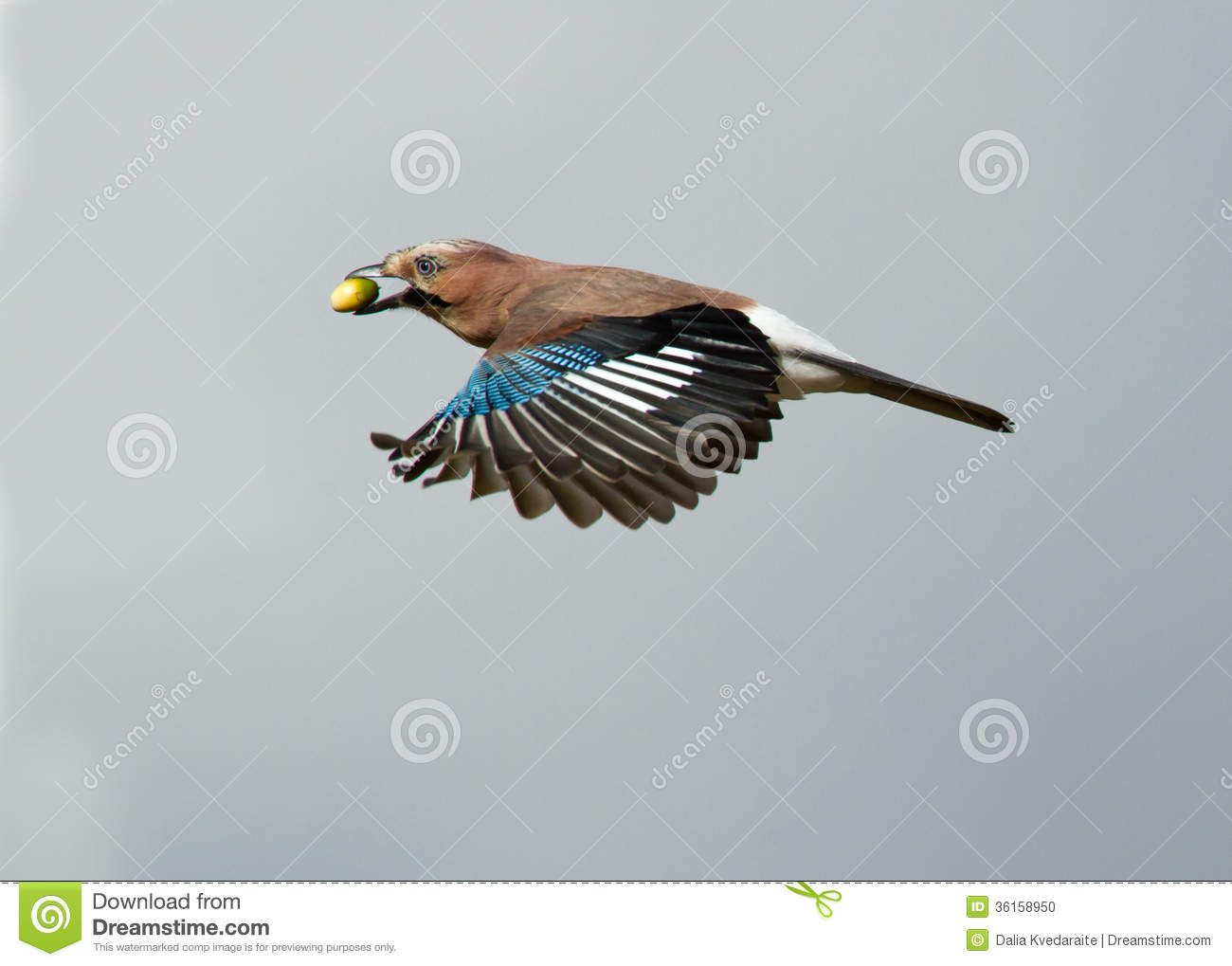 Eurasian Jay Garrulus Glandarius, In Flight Stock Photo.