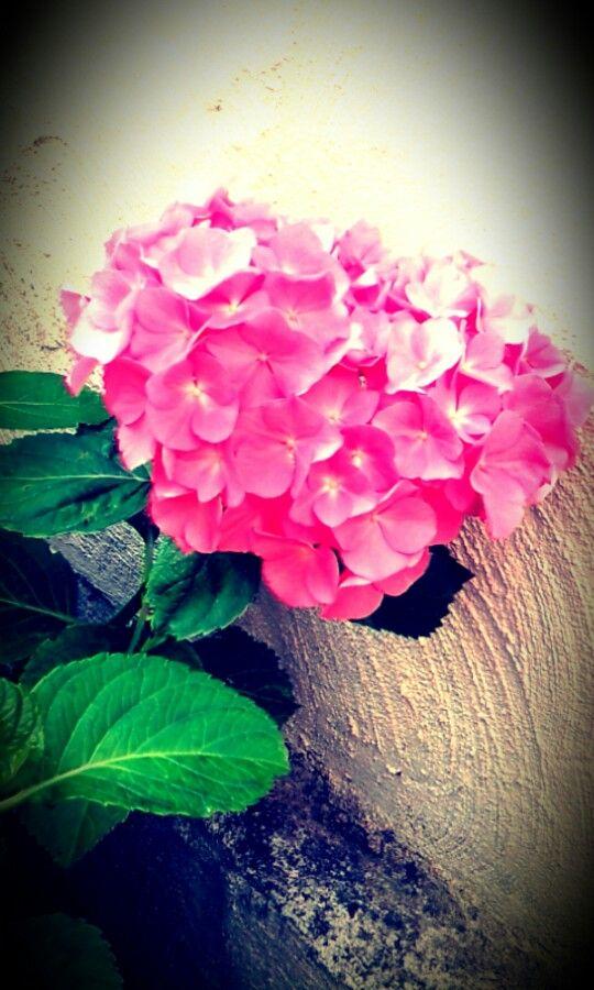 Gartenhortensie ♥.
