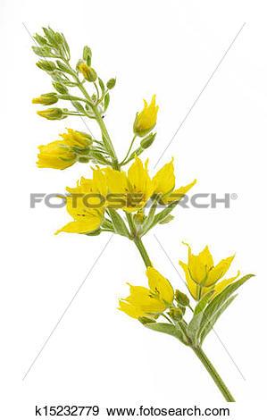 Stock Photograph of Lysimachia punctata flower on white background.