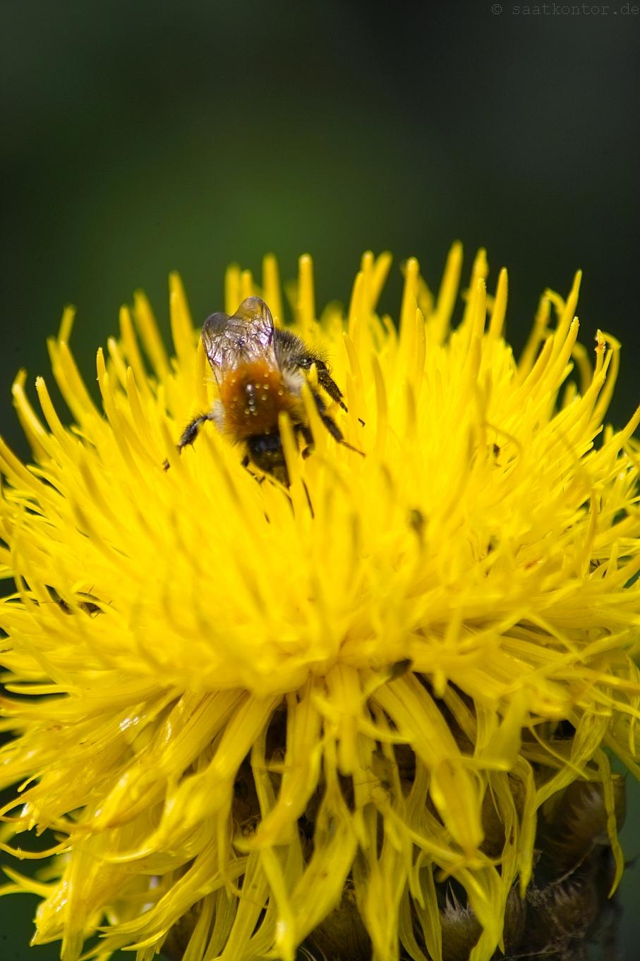 1000+ ideas about Flockenblume on Pinterest.