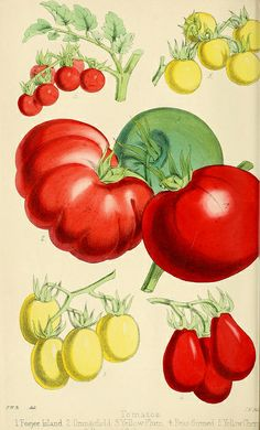 Der Schnittlauch (Allium schoenoprasum L.).