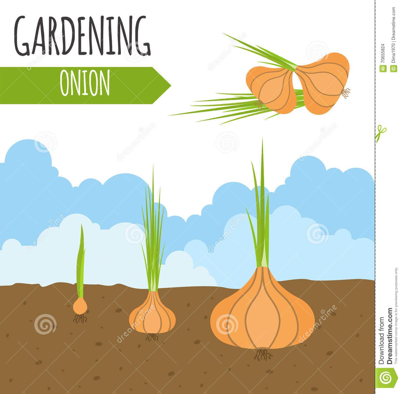 Garten Zwiebel Pflanzenwachstum Vektor Abbildung.