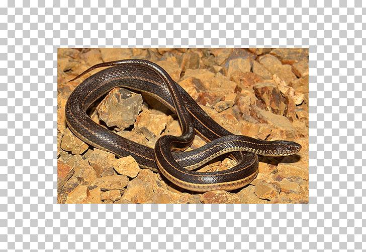 Garter snake Kingsnakes Anguidae Terrestrial animal, snake.