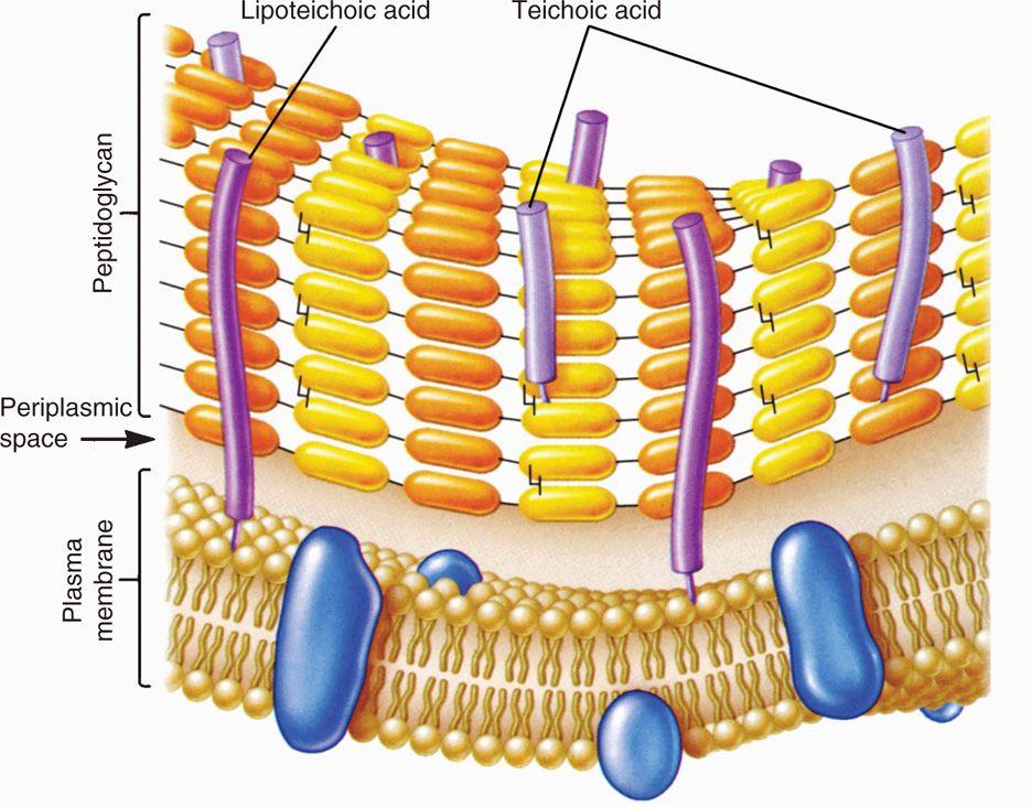 21 Bacteria—Basic Concepts.
