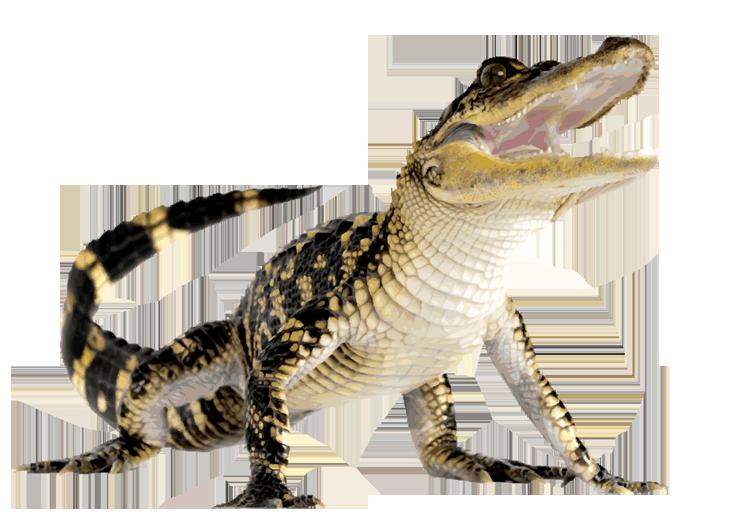 Crocodile PNG images free download, gator PNG, aligator.