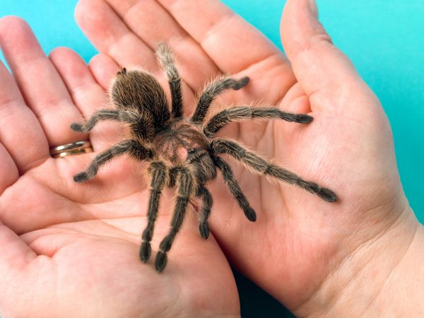 Tarantula in hands..