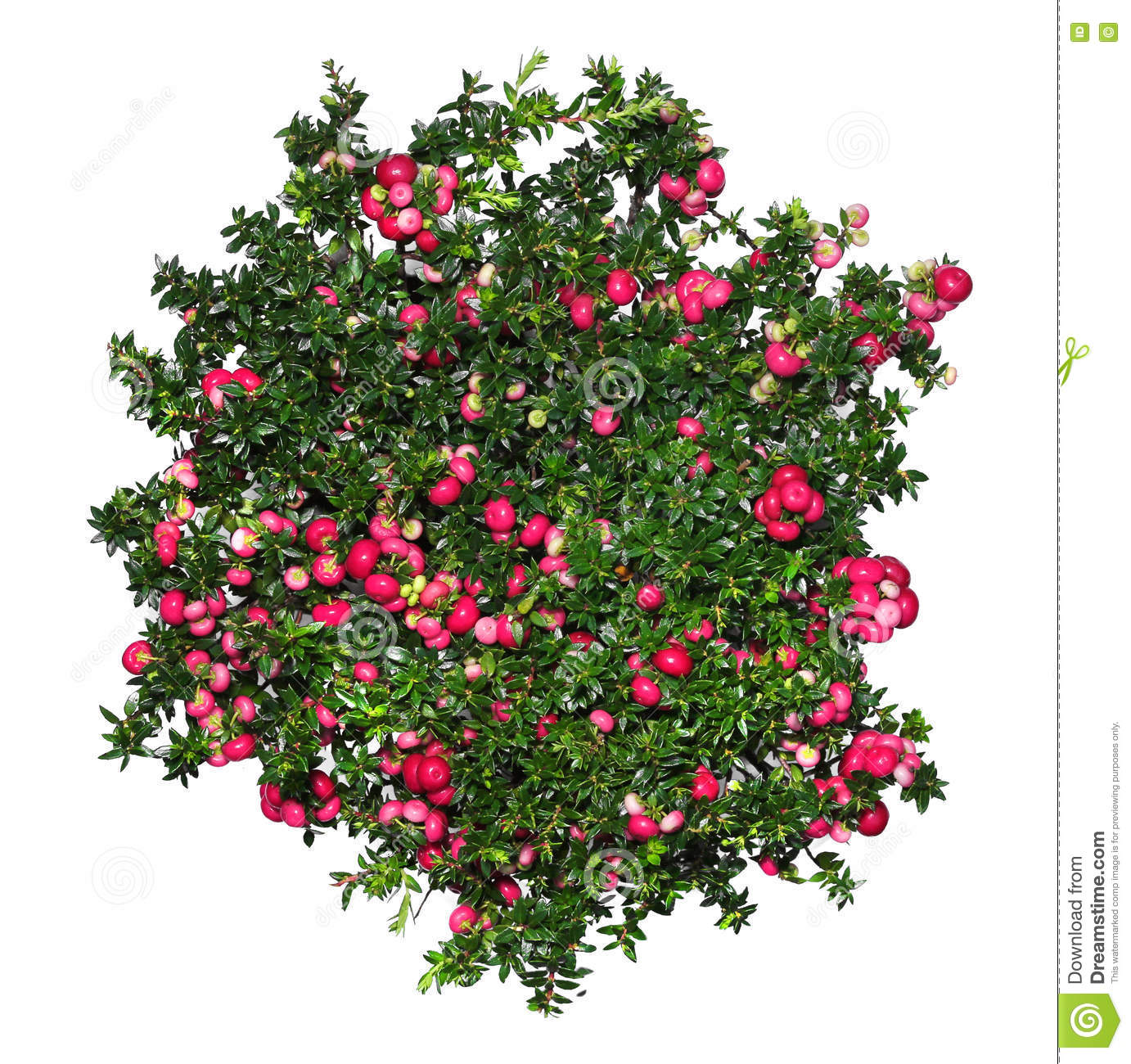 Evergreen Gaultheria Mucronata Plant With Red Berries Stock Photo.