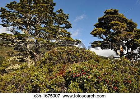 Picture of gaultheria mucronata shrub foreground, Ainsworth Bay.