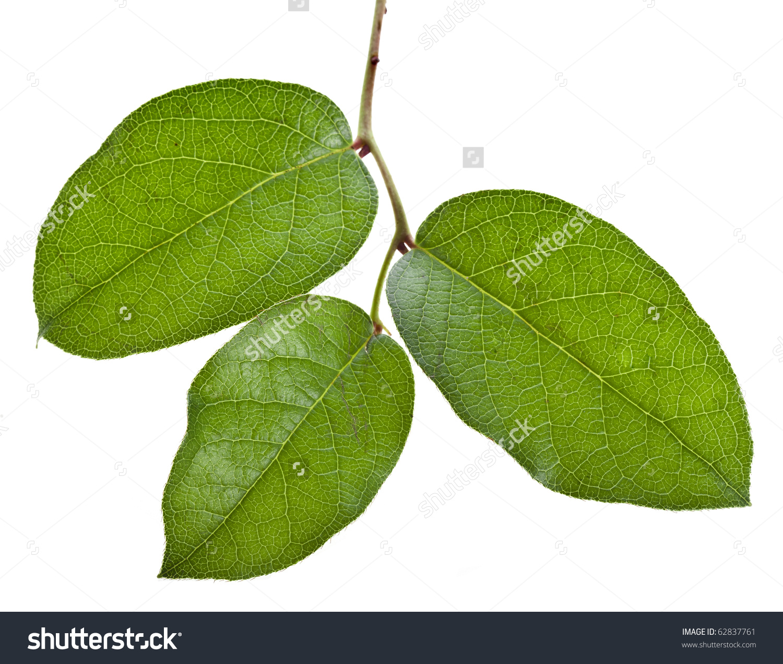 Fresh Green Branch Lemon Leaf Salal Stock Photo 62837761.