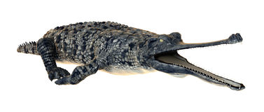 Gavial Stock Photos, Images, & Pictures.