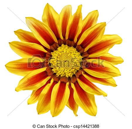 Pictures of Single flower of tiger Gazania. (Splendens genus.