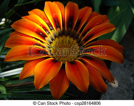 Stock Photography of gazania,solar flower,drought resistant plant.
