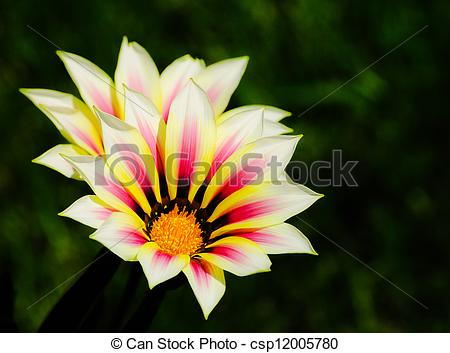 Pictures of gazania daisy red yellow white.