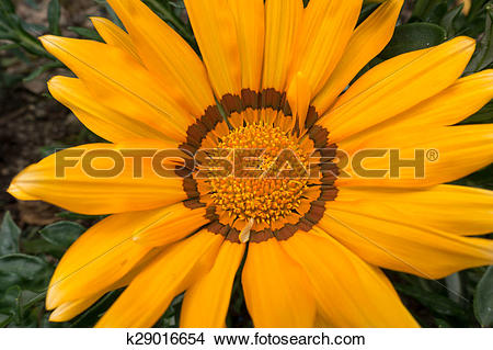 Stock Photo of Yellow Gazania k29016654.