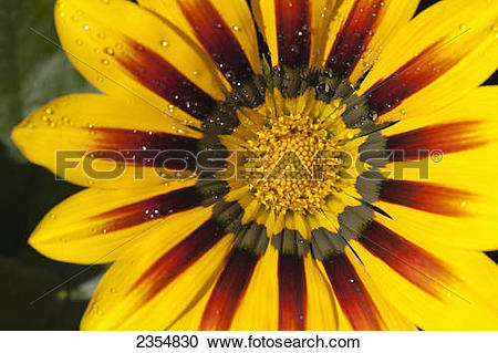 Stock Photography of Close Up Of A Yellow And Orange Gazania.