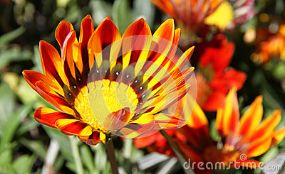 Gazania Bed Stock Photos, Images, & Pictures.