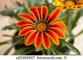 Gazania Images and Stock Photos. 583 gazania photography and.
