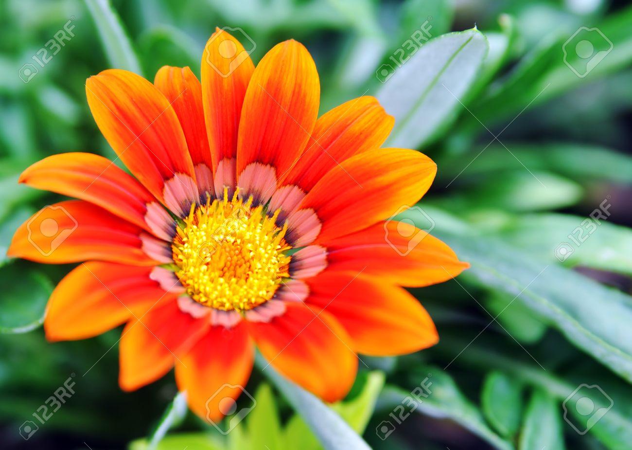 Orange Flower Gazania Pavonia Closeup Stock Photo, Picture And.
