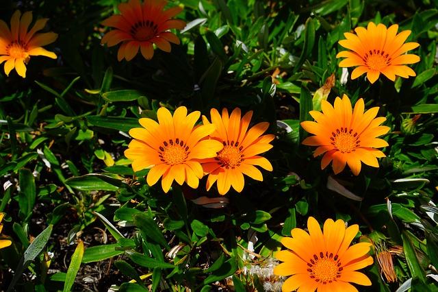 Free photo: Gazania, Flowers, Yellow, Orange.