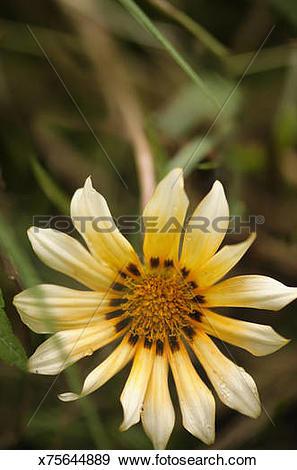 Stock Photograph of Gazania Flowerhead. x75644889.