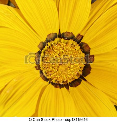 Stock Photography of Treasure flower, Gazania splendens.