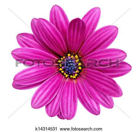 Stock Photography of Single flower of Gazania. (Splendens genus.