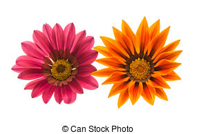 Gazania Illustrations and Stock Art. 11 Gazania illustration.